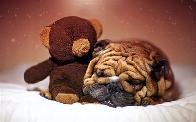 Shar pei, puppy, dogs, cute animals, teddy bear