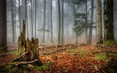 nature, coniferous forest, fog