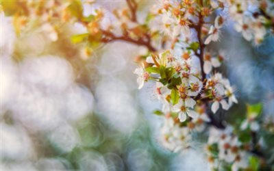 nature, cherry, flowering