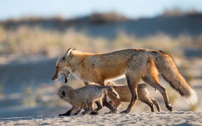 nature, fauna, winter morning, family fox