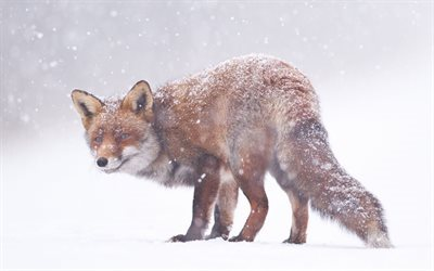 fox, snow, winter, smile