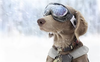 snow patrol, glasses, dog, collar