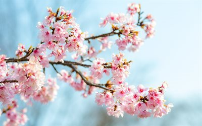 sakura, cherry blossoms, pink flowers, spring, cherry