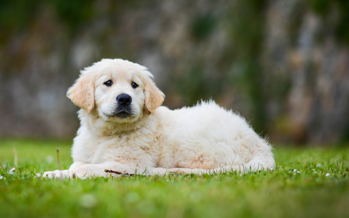 Download Wallpapers 4k Golden Retriever Puppy Lawn Sad Dog