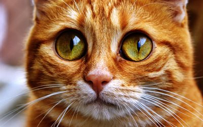 Ginger Scottish Fold, close-up, cat with yellow eyes, domestic cat, pets, Scottish Fold, ginger cat, cute animals, cats, Scottish Fold Cat