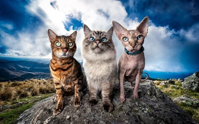 Burmese Cat, Sphinx Cat, Bengal cat, pets, cats, wildlife, cute animals, three cats