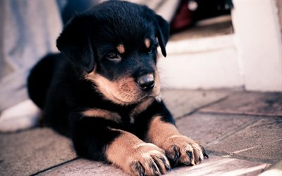 puppy, rottweiler, small dog, black puppy, cute animals, dogs