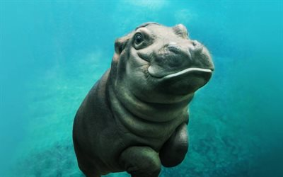 little hippo, underwater, cute animals, baby hippo, Hippopotamus, wildlife, small animals, hippos