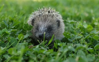 hedgehog, wildlife, green grass, hedgehog in the grass, cute animals
