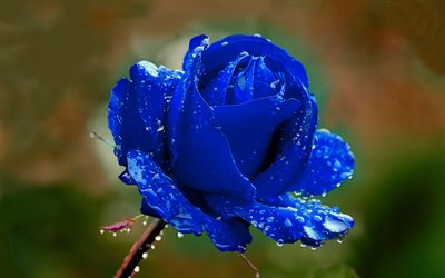 blue rose, macro, blue flowers, beautiful flowers, bokeh, blue buds, roses