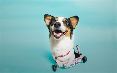 Cardigan Welsh Corgi, small dog, travel concepts, dogs, 4k