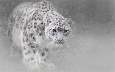 snow leopard, predators, wildlife, blur, leopards