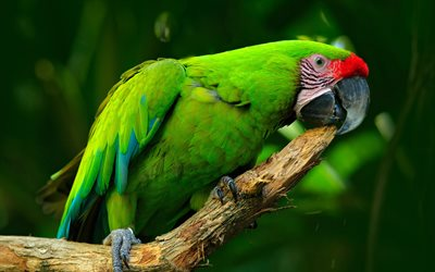 Great green macaw, 4k, green parrot, beautiful bird, Ara ambigua, great military macaw, South America