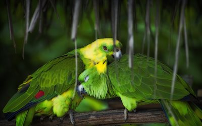 Aratinga, couple of parrots, green parrots, South American, beautiful birds