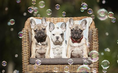 french bulldog, small puppies, cute animals, pets, puppies, family