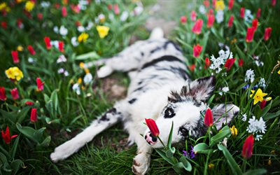 Australian Shepherd, flowers, puppy, small Aussie, lawn, pets, dogs, cute animals, Aussie, Australian Shepherd Dog, Aussie Dogs