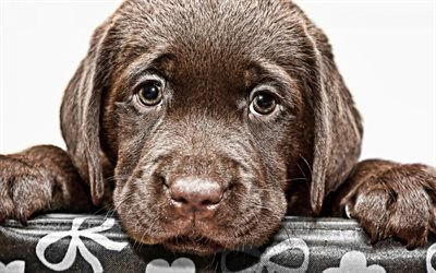 brown labrador, puppy, pets, sad dog, small labradors pets, retrievers, cute animals, labradors