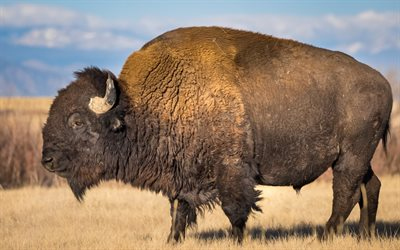 bison, wildlife, wild animals, evening, sunset, american bison, USA