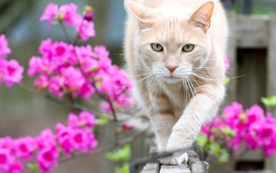 Cat, spring, fence, pets, beige cat, pink flowers