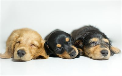 Little dogs, puppies, cute animals, sleeping puppies, dogs