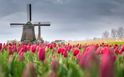mill, tulips, field, spring