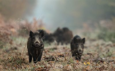 Wild boars, forest, black boar, forest animals