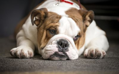 English bulldog, funny animals, bulldogs, dogs