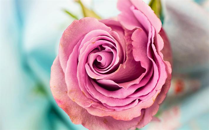 descargar fondos de pantalla rosado capullo de rosa flor hermosa