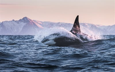 Killer whale, Orca, ocean, sunset, dangerous animals, mammal, toothed whale, whale species