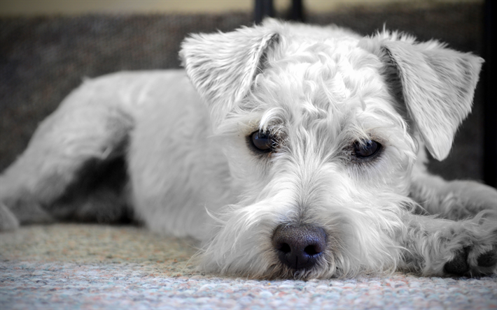 Download wallpapers 4k, Wire Fox Terrier, puppy, cute animals, close ...