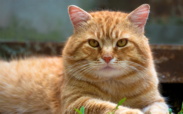 Download Wallpapers American Bobtail Close Up Ginger Cat