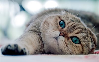 Scottish Fold, bokeh, cat with blue eyes, domestic cat, pets, gray cat, cute animals, cats, lazy cat
