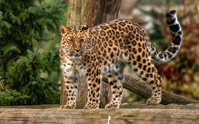 leopard, wildcat, predator, wildlife, wild animals, forest