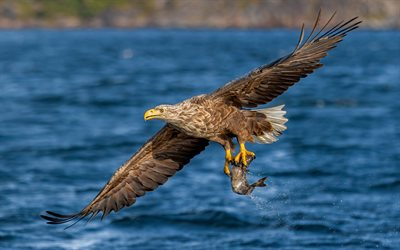 eagle, 4k, fishing, hunting concepts, wildlife, predator, hunting
