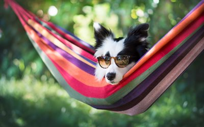 Border Collie, dog, summer, rest, sunglasses, cute animals