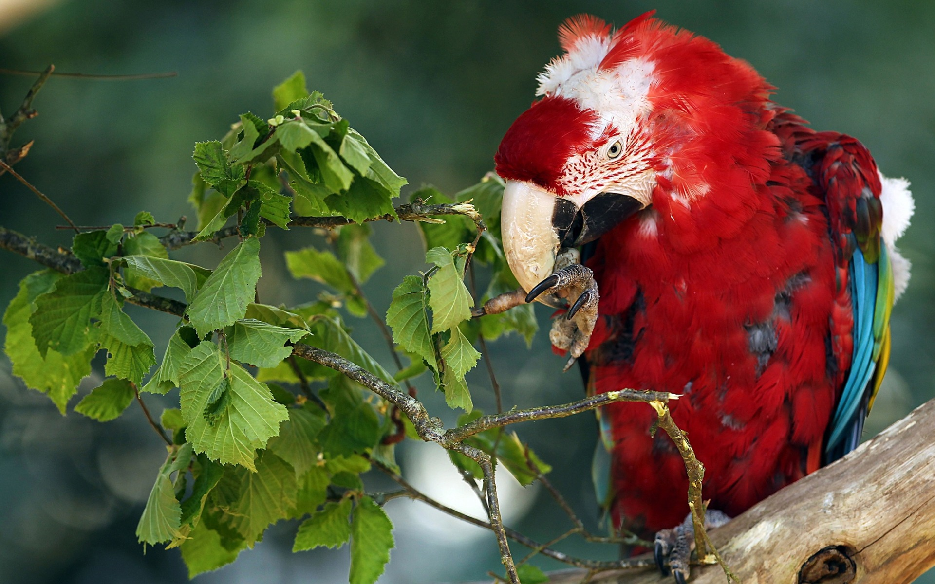 Scarlet macaw, beautiful red parrot, beautiful bird, tropical forest, South American parrot