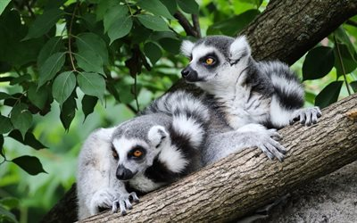 lemurs, wildlife, wild animals, lemur, Madagascar, forest