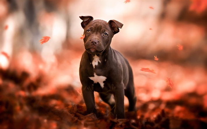 American Pit Bull Terrier, puppy, autumn, cute animals, pets, dogs, Small American Pit Bull Terrier