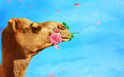 camello con rose, 4k, creativo, vida salvaje, Camelus, close-up, camello