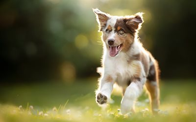 Australian Shepherd, running puppy, Aussie, bokeh, pets, summer, dogs, cute puppy, cute animals, Australian Shepherd Dog, Aussie Dogs