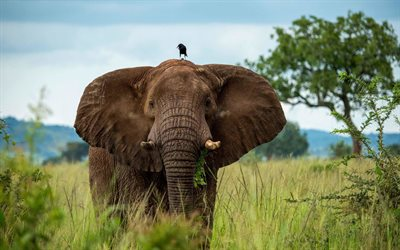 4k, elephant, crow, Africa, savannah, elephants, Elephantidae, elephant with crow