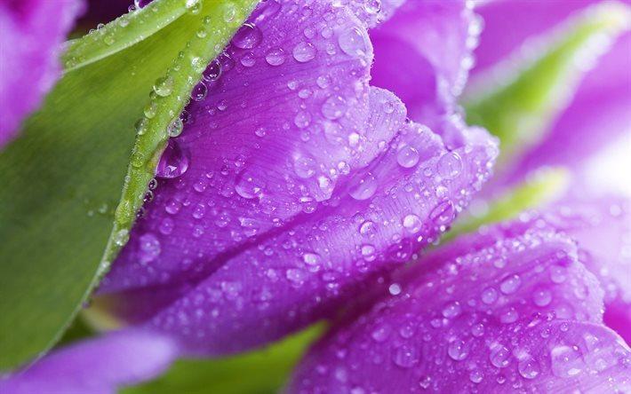 Scarica Sfondi Primavera Tulipani Viola Tulipano Fiori Di