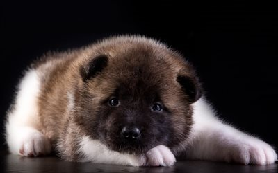 little dog, puppy, akita, american