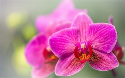 orchid, pink orchid, tropical flowers