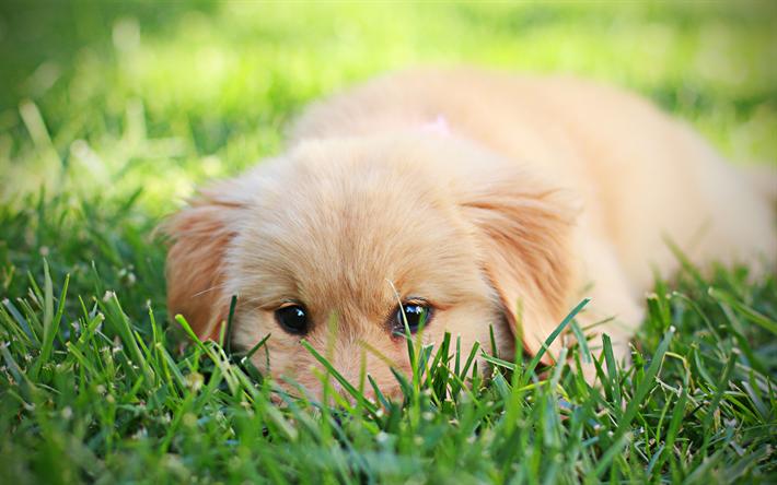 Download Wallpapers Golden Retriever Cute Puppy 4k