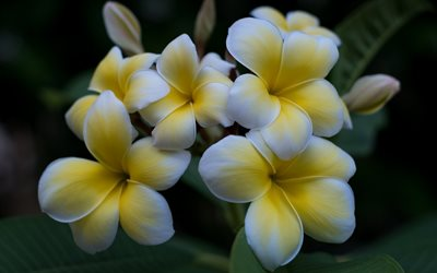 Plumeria, white flowers, bokeh, beautiful flowers, Apocynaceae, Plumeria obtusa