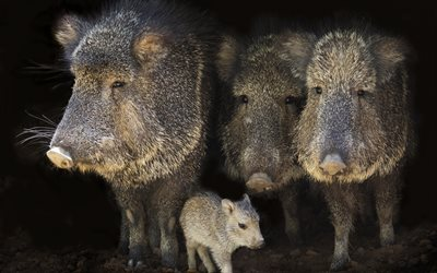 Wild boar, little boar, family of wild boars, wildlife, wild animals, wild swine