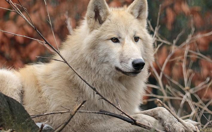 Rezultat slika za white wolf wald