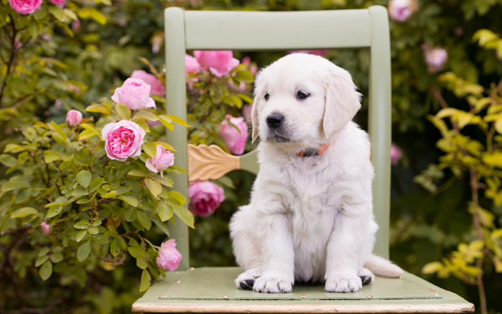 Download Wallpapers White Labrador Cute White Puppy Small Dog