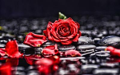 تحميل خلفيات وردة حمراء لسطح المكتب مجانا جودة عالية Hd صور خلفيات